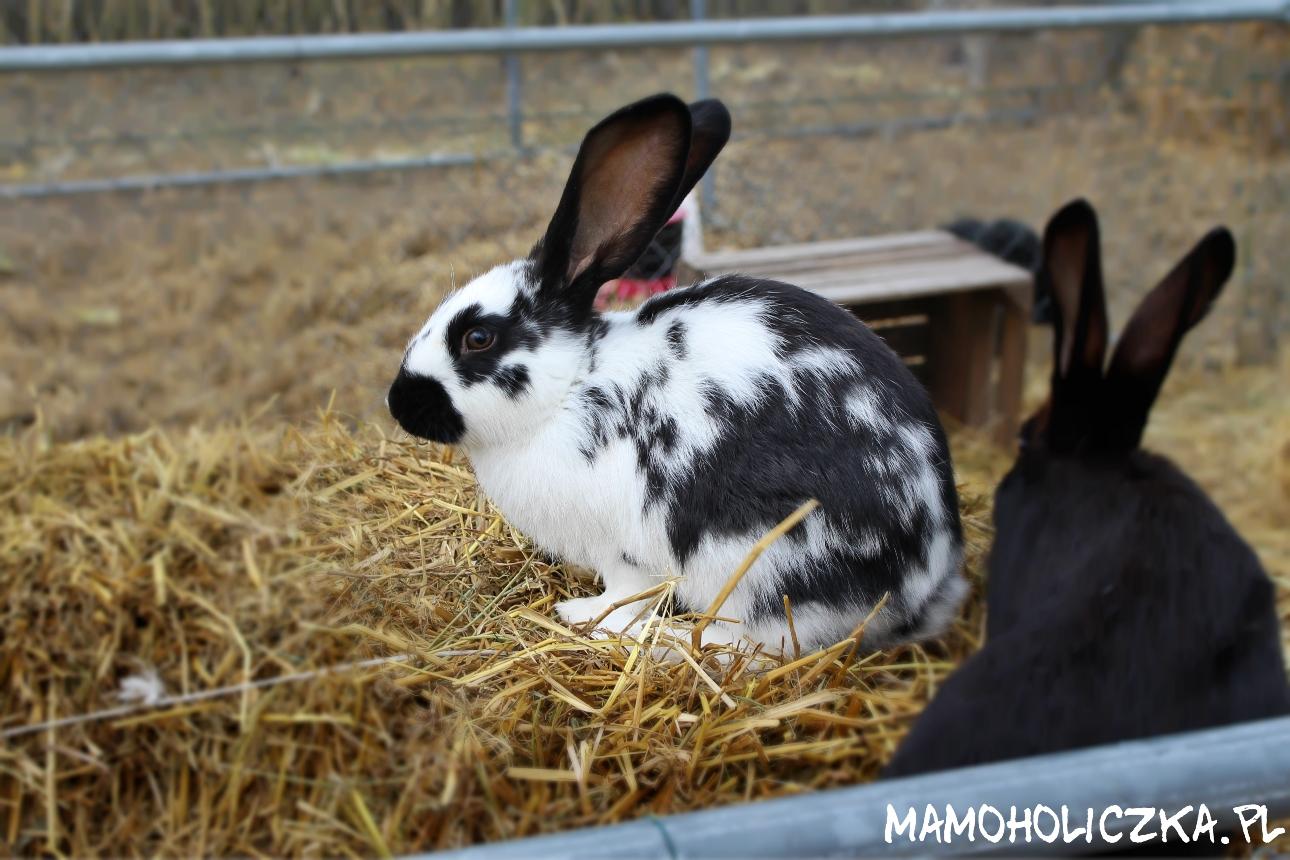 królik farma dyń